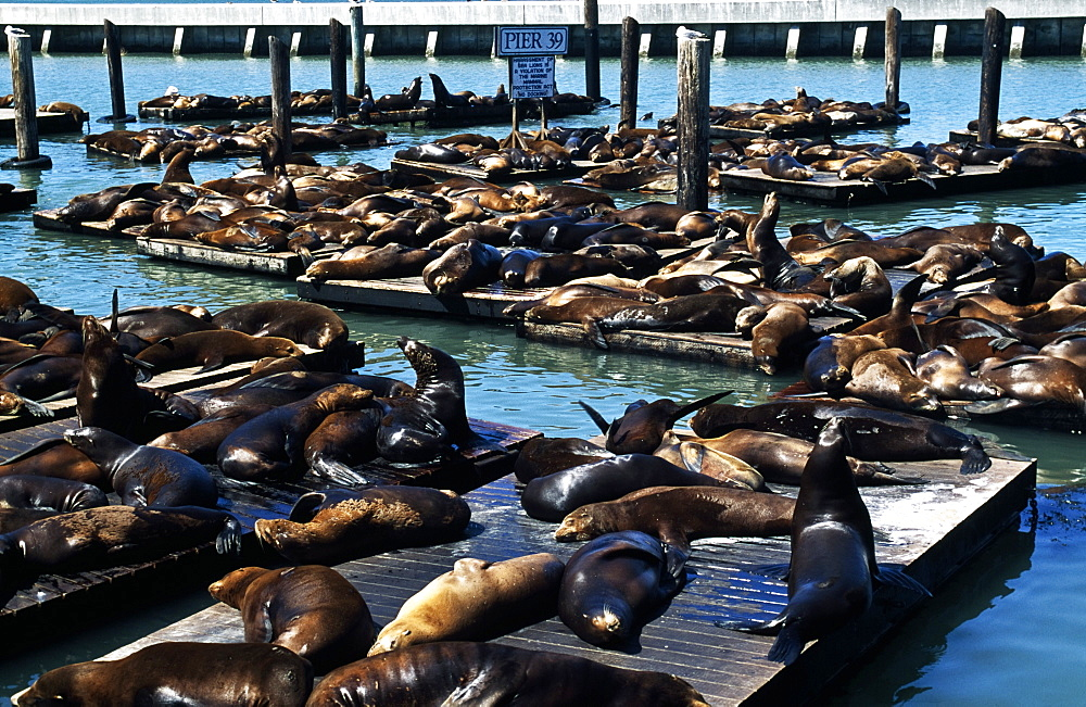 Seals On Pier, San Francisco, Usa