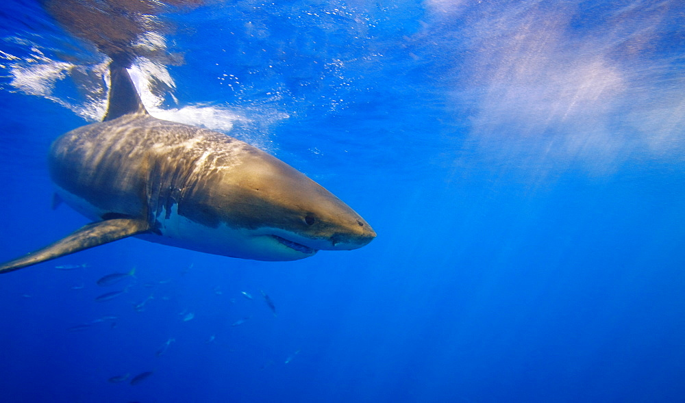 Great White Shark Off Guadalupe Island, Mexico