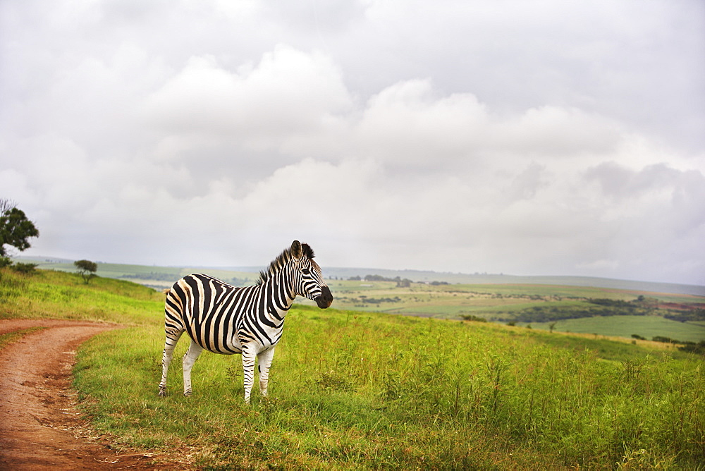 Zebra In The Countryside, South Africa