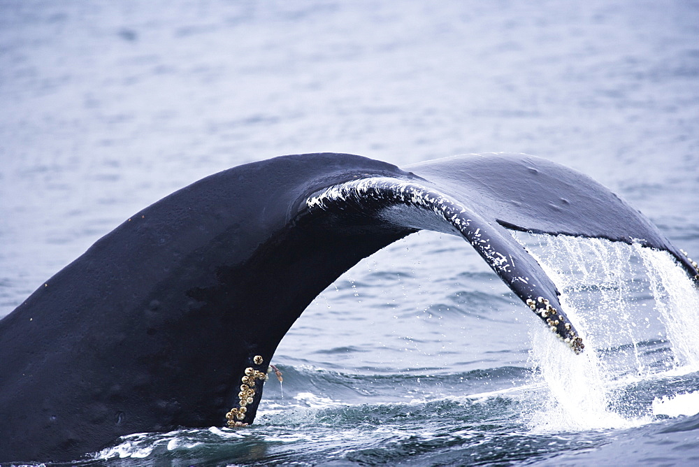 Humpback Whales (Megaptera Novaengliae), Inside Passage, Southeast Alaska, Usa