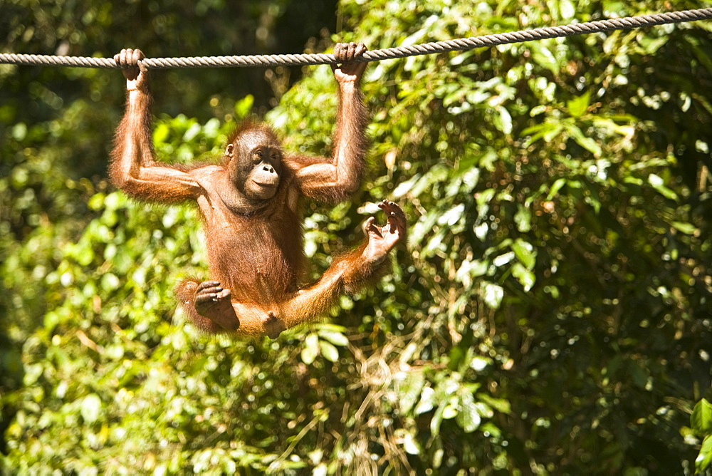 Juvenile Oranguatan Hanging On A Rope