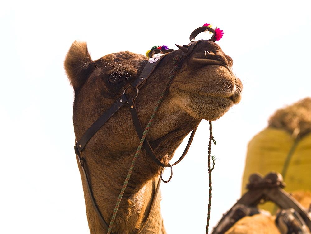 Camel, Rajasthan, India