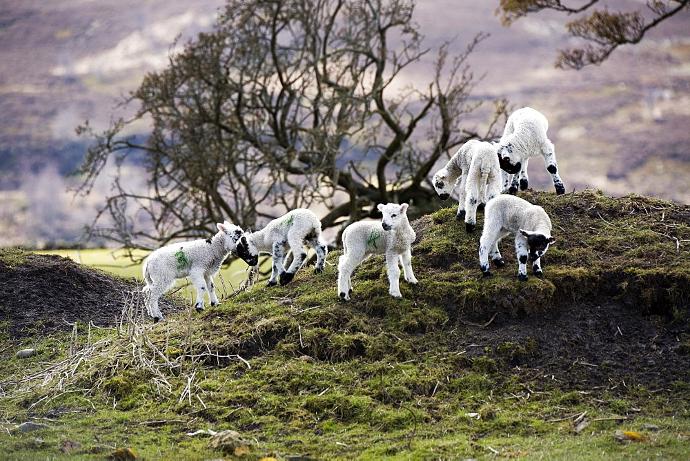 Baby Lambs On A Hill