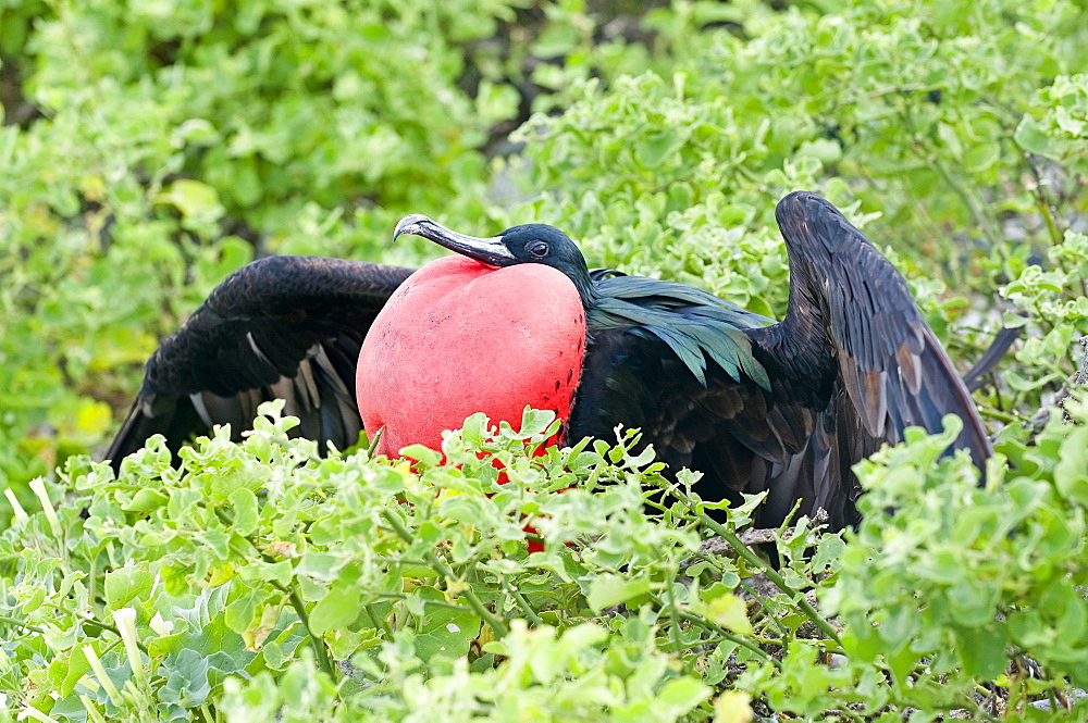 Great Frigatebird With Inflated Gular Sac