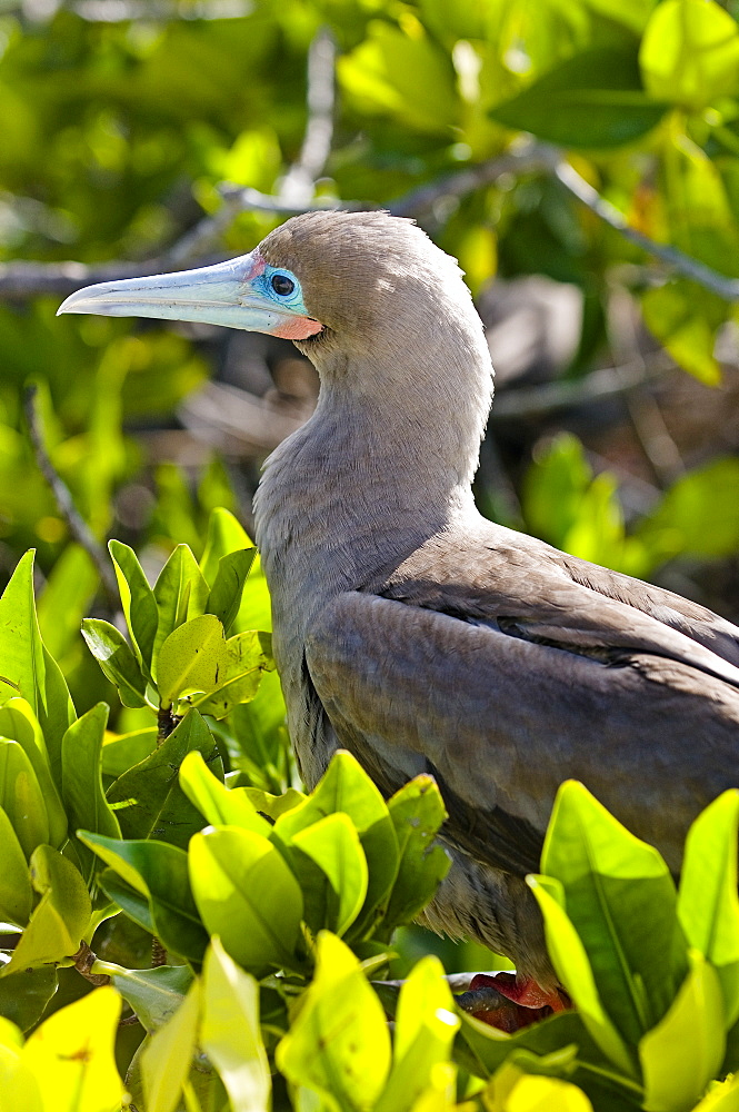 Red-Footed Booby In Leaves