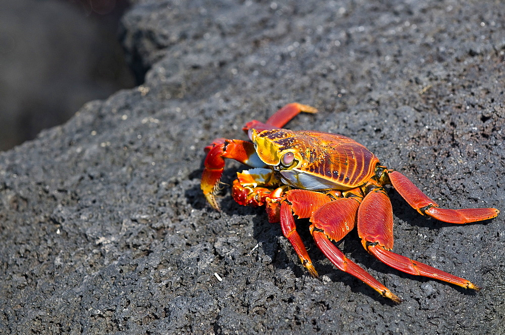 Sally Light Footed Crab On Rock