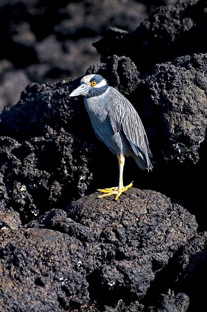 Yellow-Crowned Night Heron On Rock