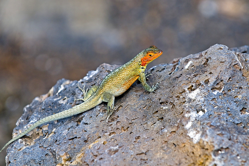 Lava Lizard On Rock