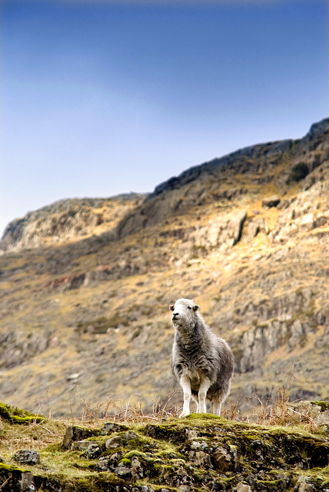 Herdwick Sheep On Cliff, Lake District, England, Europe - 1116-40343