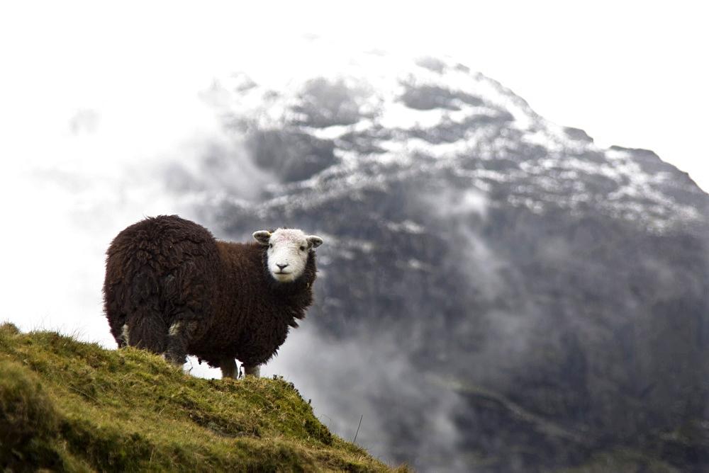 Herdwick Sheep In Mountains, Lake District, Cumbria, England
