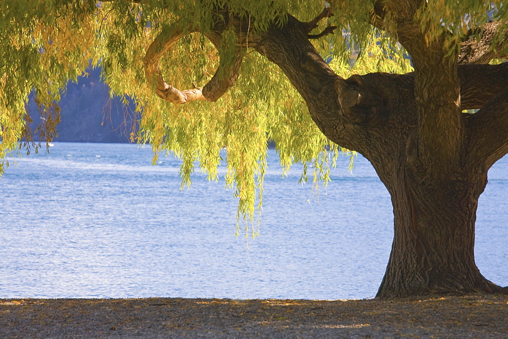 Large Tree On The Beach Of Lake Wakatipu, New Zealand