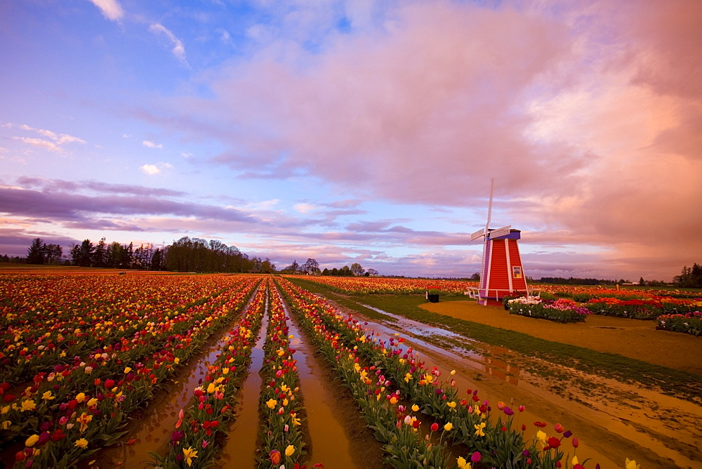 Tulip Farm, Oregon, United States Of America