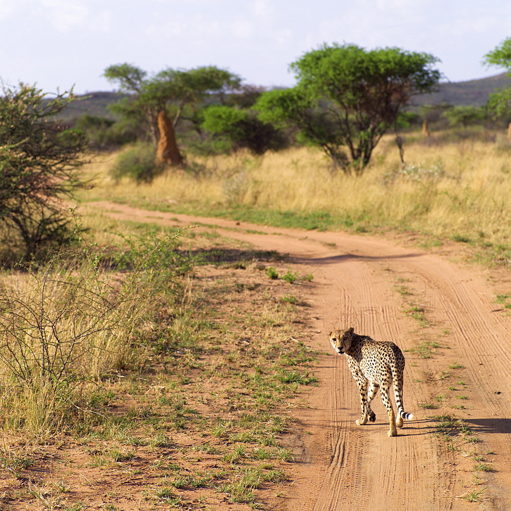 Leopard On A Dirt Road, Namibia, Africa