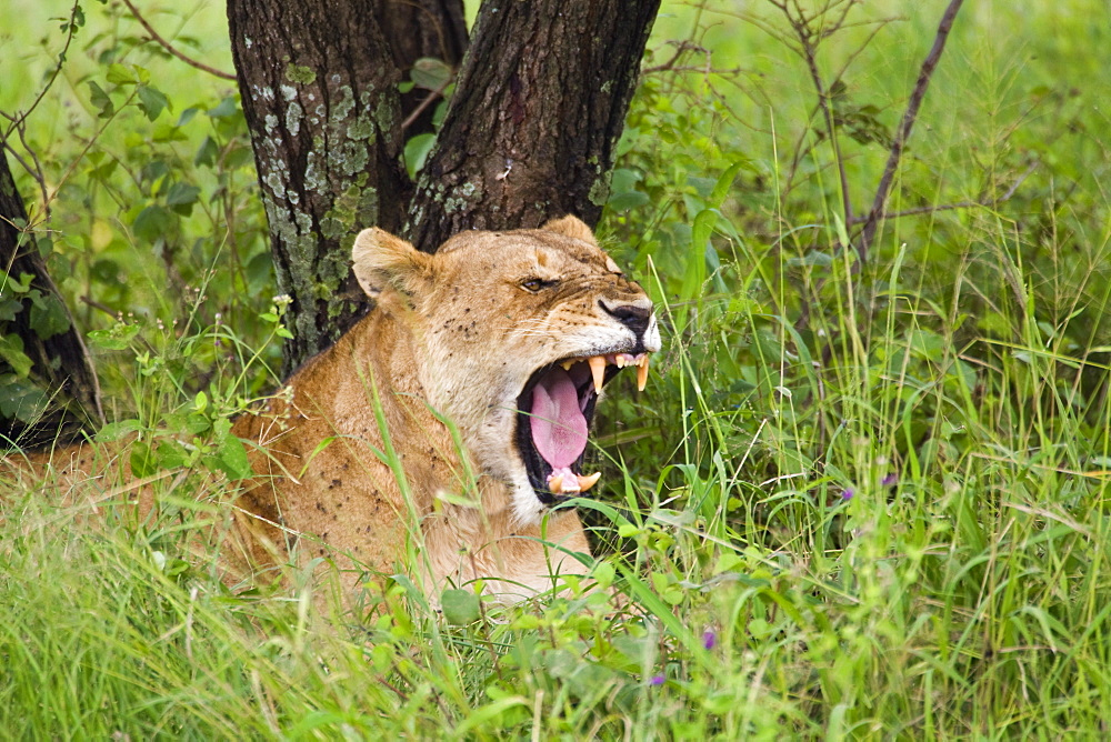 Lioness Showing Teeth