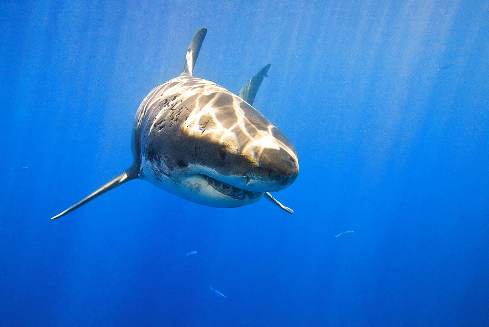 Great White Shark (Carcharodon Carcharias) - 1116-40453