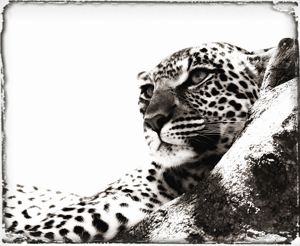 Portrait Of An African Leopard, Botswana, Africa