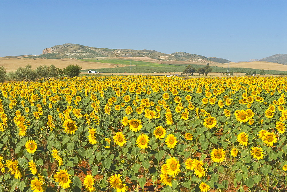 Field Of Sunflowers, Andalusia, Spain