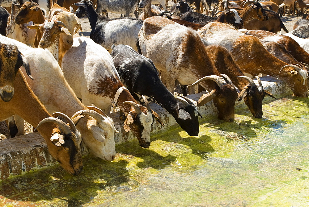 Goats Drinking