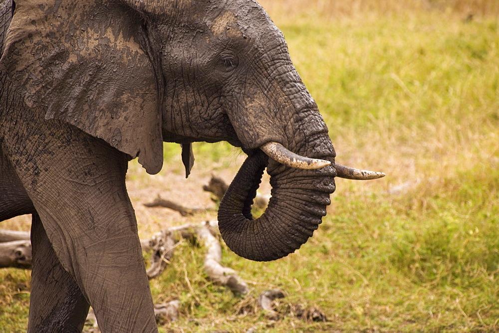 African Elephant (Loxodonta Africana), Arathusa Safari Lodge, Sabi Sand Reserve, Mpumalanga, South Africa, Africa