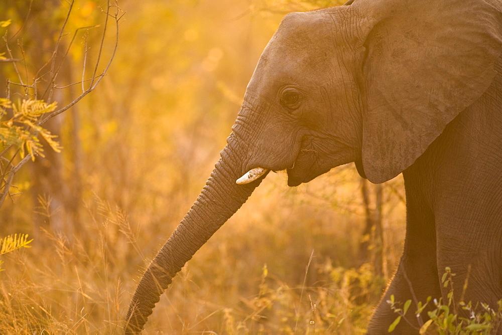 African Elephant (Loxodonta Africana), Arathusa Safari Lodge, Sabi Sand Reserve, Mpumalanga, South Africa