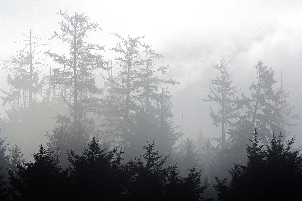 Foggy Forest, Crescent City, California, Usa