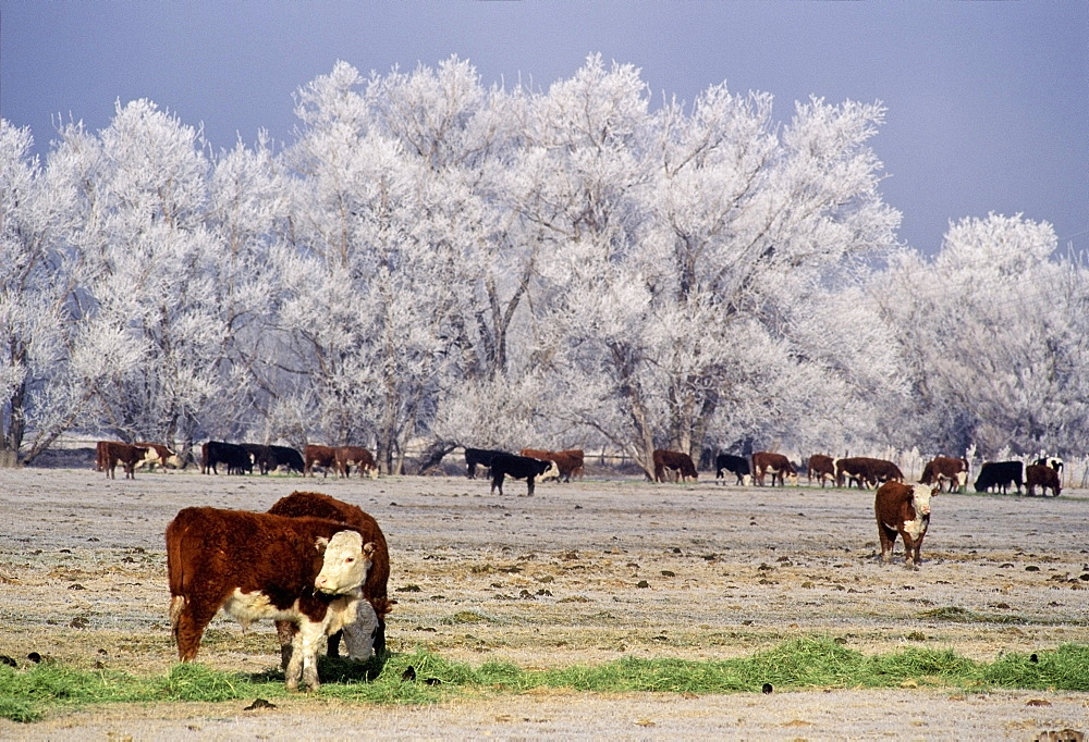 Cattle, Lagrande, Oregon, Usa