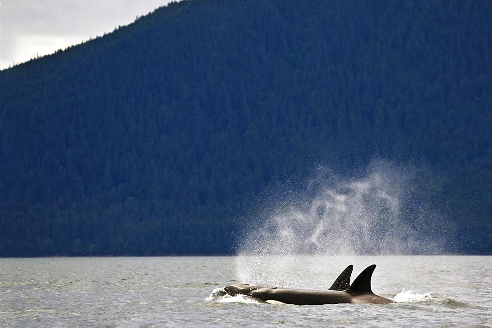 Killer Whales, Alaska, Usa