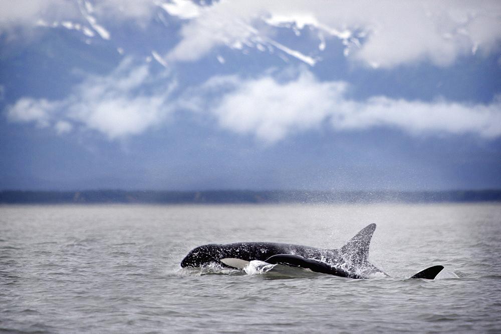 Killer Whales, Alaska