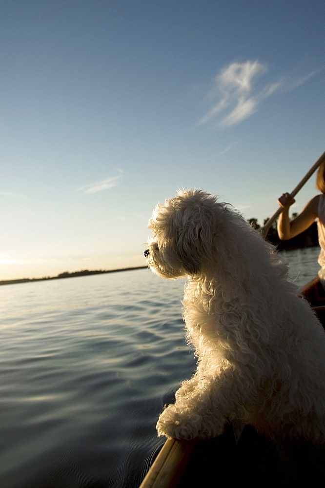 Lake Of The Woods, Ontario, Canada, White Dog Standing In Row Boat On Lake