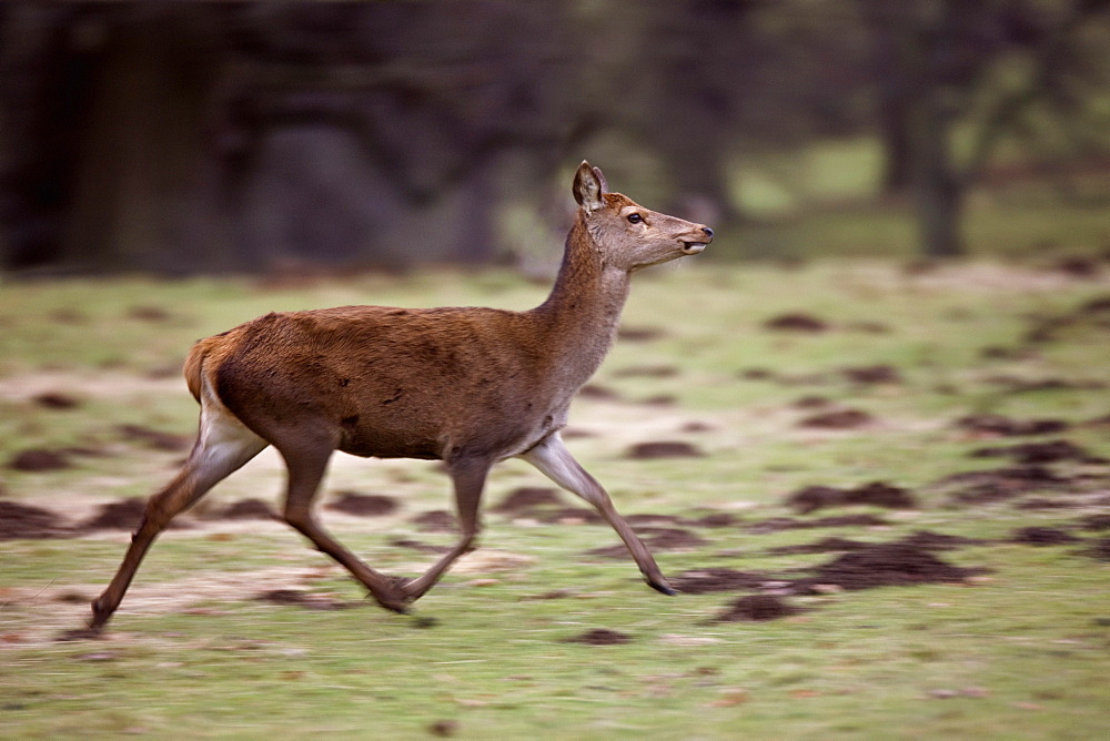 Yorkshire, England, Deer Foal Running