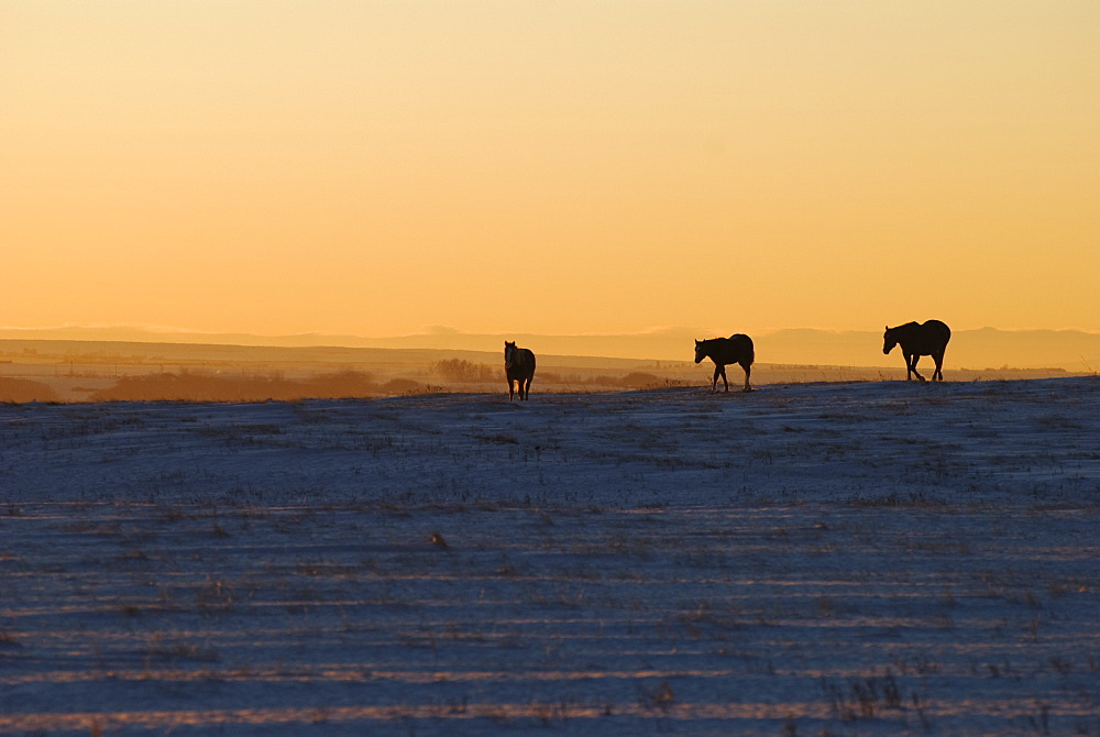Alberta, Canada, Horses At Sunset