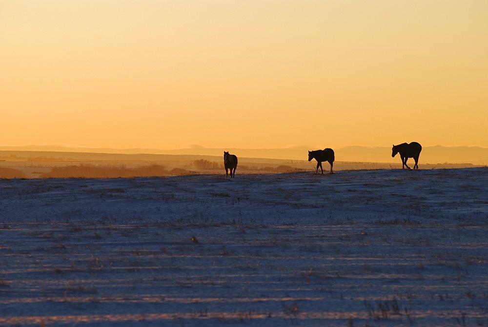 Alberta, Canada, Horses At Sunset