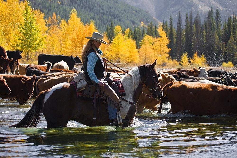 Cowgirl Herding Cattle Across River - 1116-40772