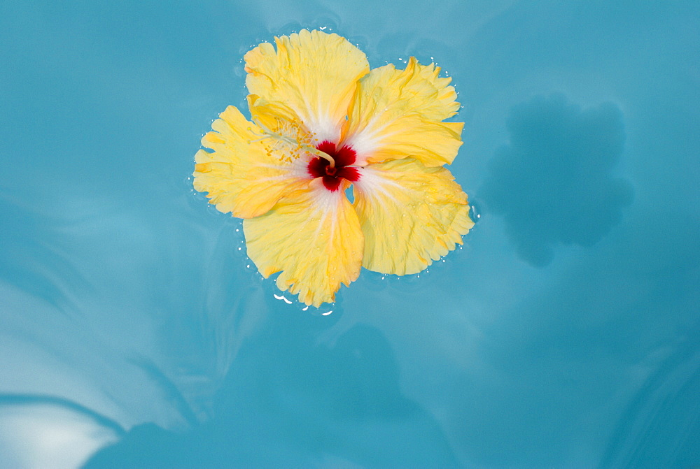 Island Of Samui, Thailand, Yellow Flower Floating On Blue Water - 1116-40795