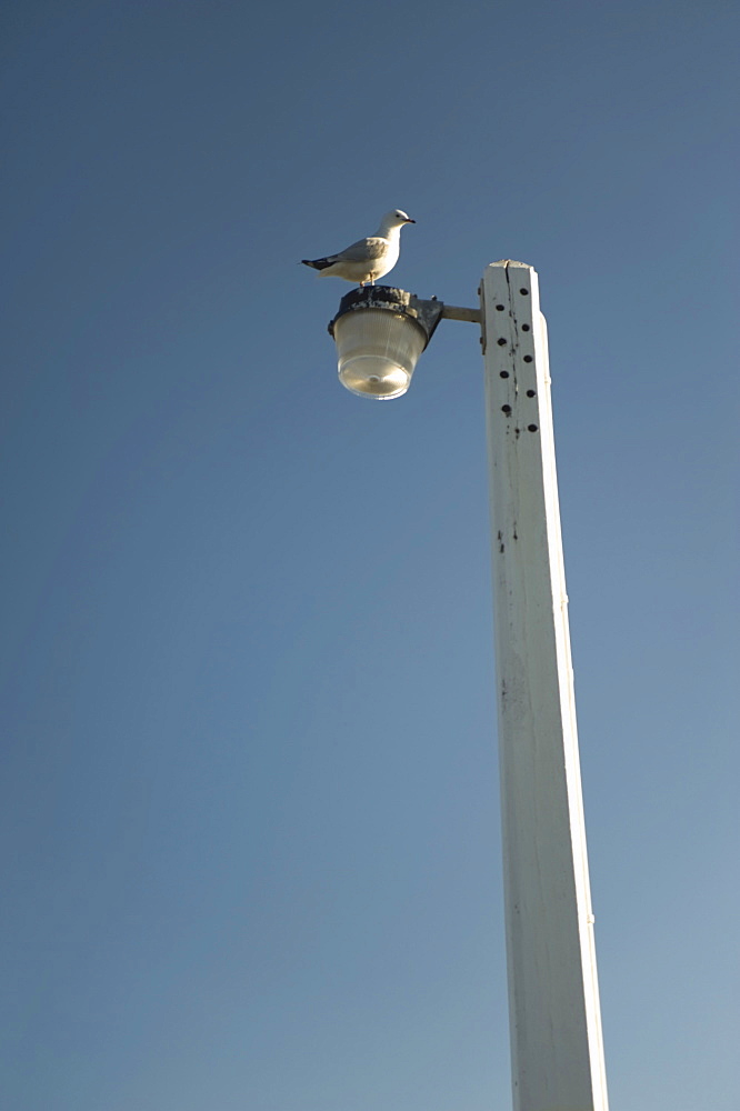 Seagull Perched On Lamppost - 1116-40797