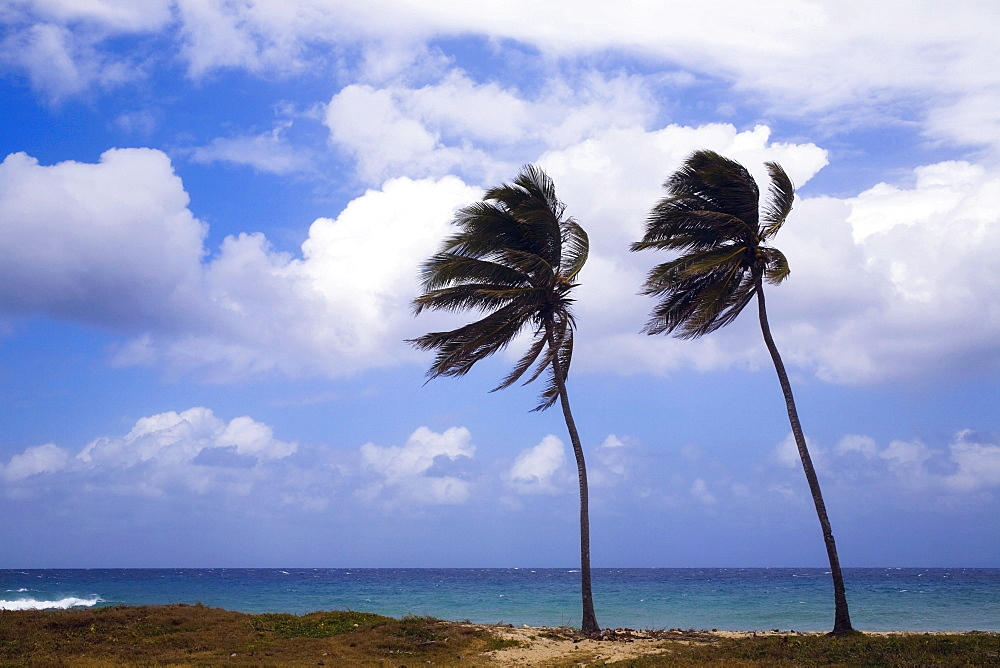 Palm Trees, Varadero, Cuba