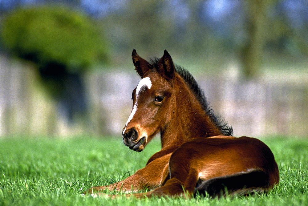 Thoroughbred Horse, Ireland - 1116-40838