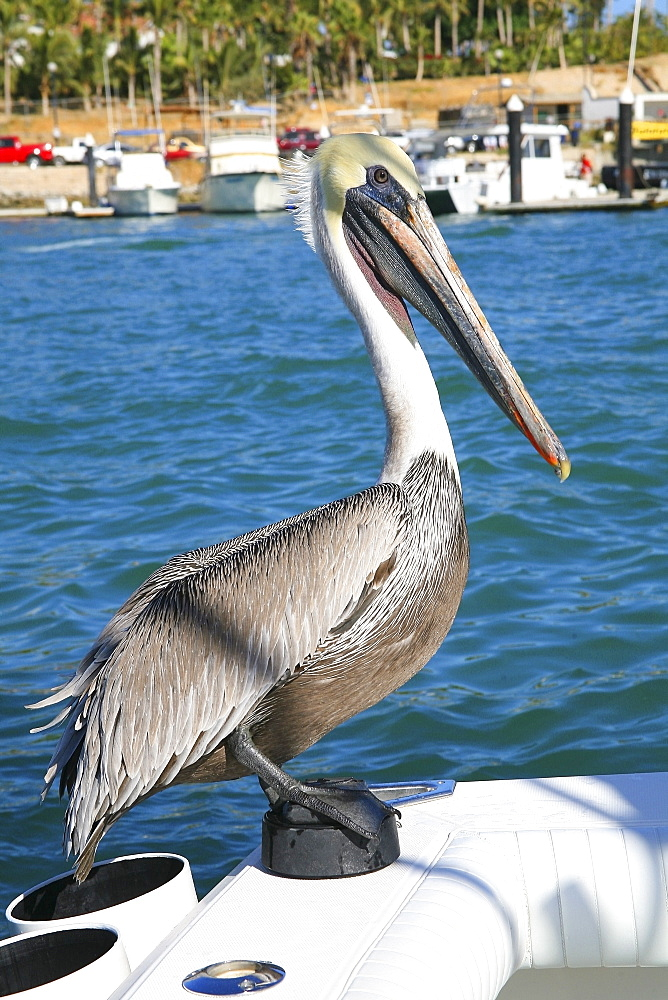 Pelican Sitting On Back Of Boat, Cabo San Lucas, Mexico