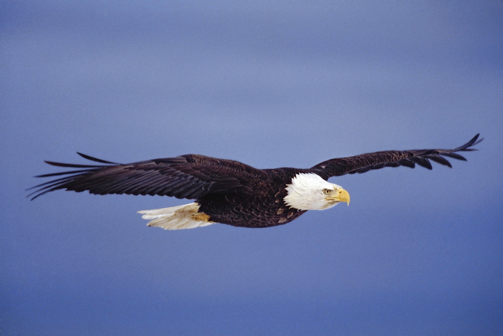 Bald Eagle (Haliaeetus Leucocephalus) In Flight