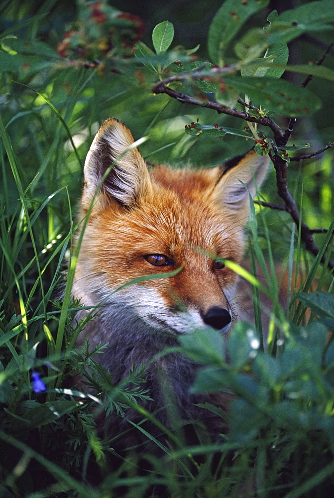 Red Fox (Vulpes Vulpes) - 1116-40935