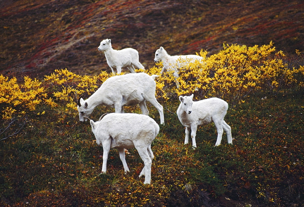 Dall Sheep (Orvis Dalli), Ewes With Lambs On Autumn Tundra, Denali National Park And Preserve, Alaska, Usa