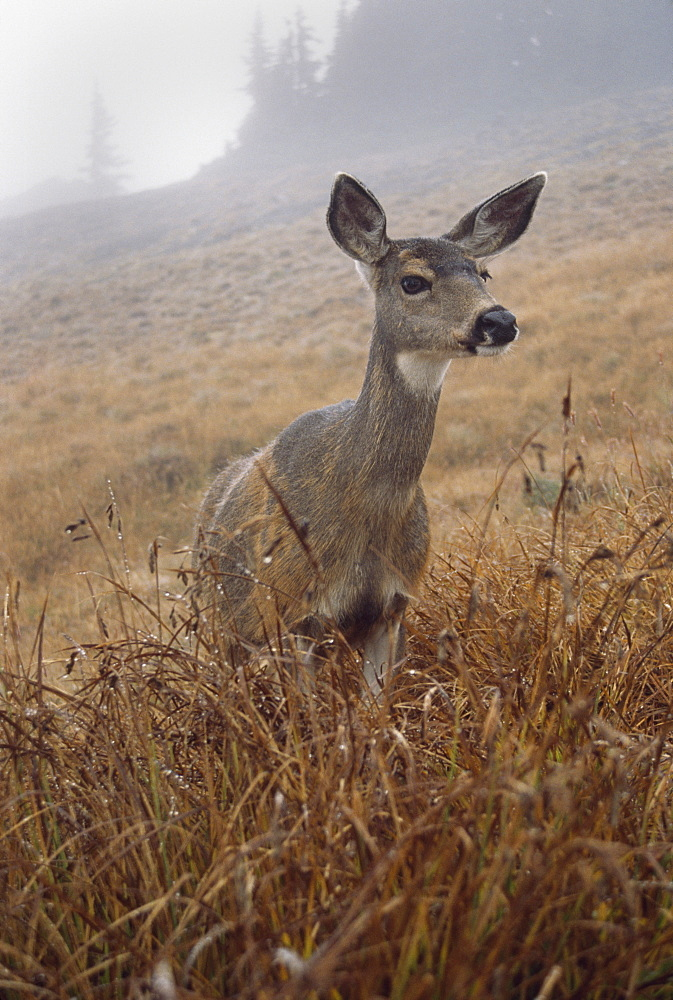 Blacktail Deer (Odocoileus Hemionus Columbianus), Olympic National Park, Washington, Usa