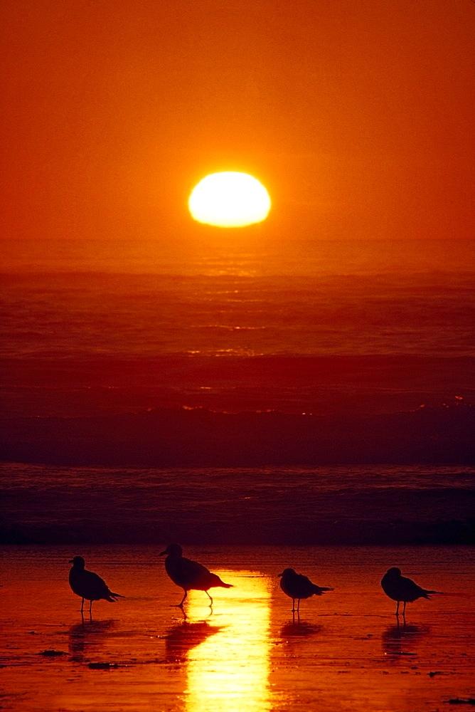 Seagulls, Shishi Beach, Washington, Usa