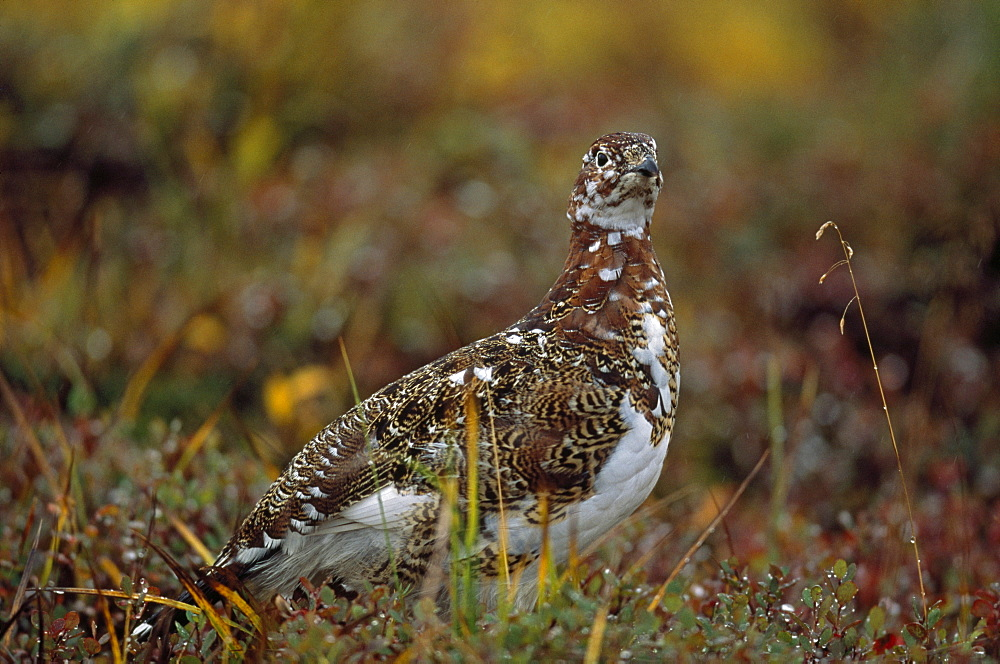 Willow Ptarmigan (Lagopus Lagopus), Denali National Park And Preserve, Alaska, Usa