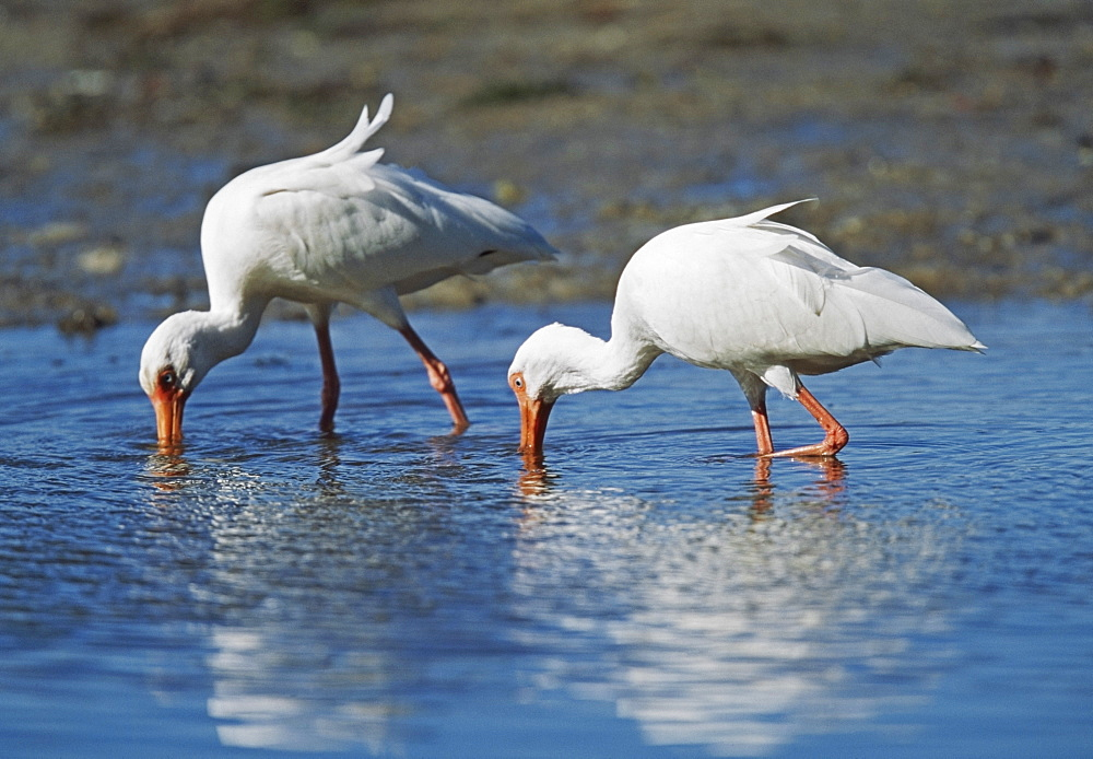 White Ibis (Eudocimus Albus) In Shallow Water