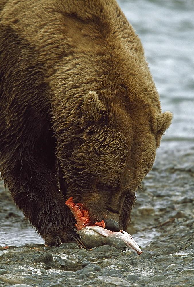 Alaskan Brown Bear Eating Salmon At Edge Of River, Alaska, Usa