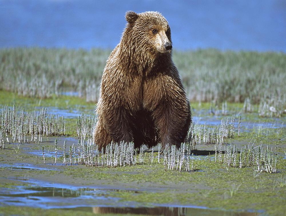 Alaskan Brown Bear (Ursus Arctos) Searching Tide Plain