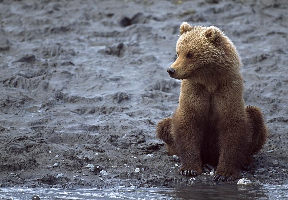 Young Alaskan Brown Bear (Ursus Arctos) Sitting On Bank Of River, Mc Neil River State Game Santcuary, Alaska, Usa