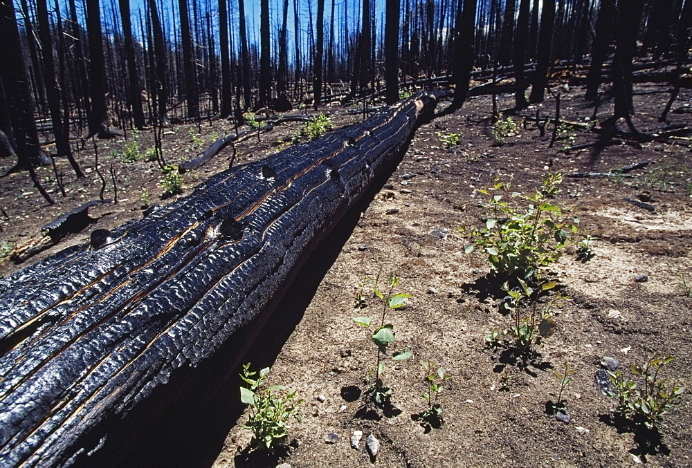 Burnt Forest, Outlet Fire, Grand Canyon National Park, Grand Canyon, Arizona, Usa