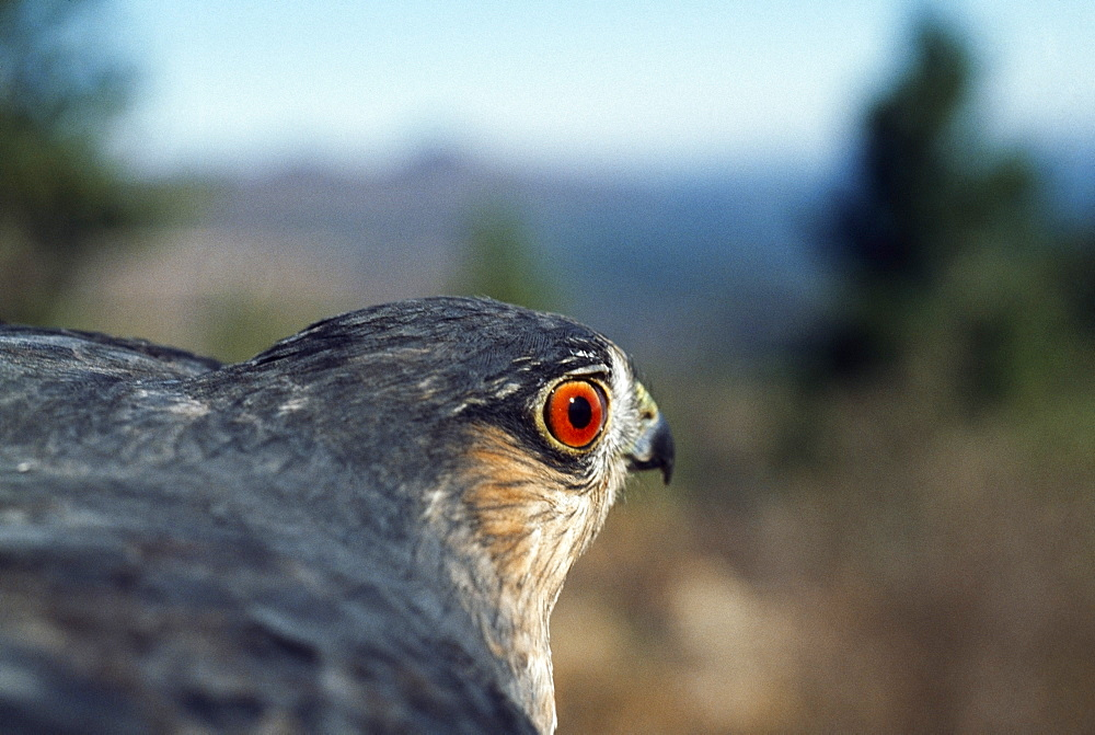Sharp-Shinned Hawk (Accipiter Striatus), Monzano Mountains, New Mexico, Usa